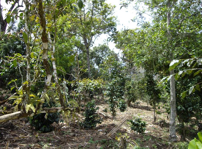 Kaffee Schattenplantage