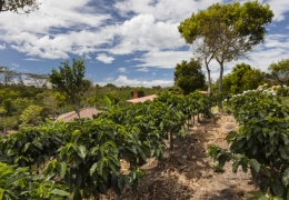 Kaffeeanbau unter Schattenbäumen – ökologisch und wirtschaftlich sinnvoll