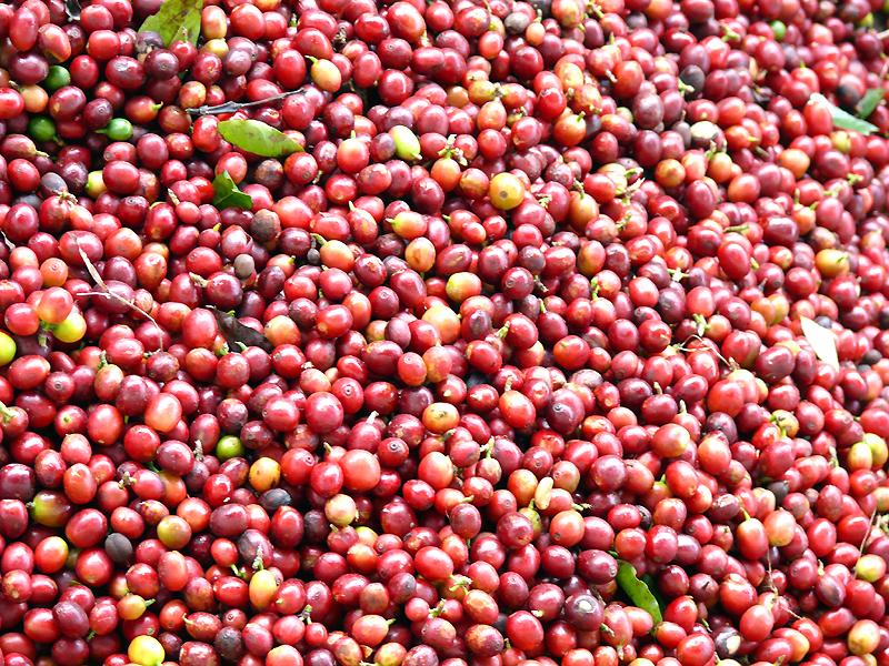 Rohe Kaffeekirschen Mocino